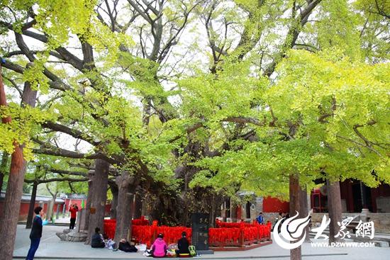 拥有4000年树龄的天下第一银杏树