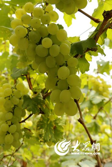 维多利亚葡萄