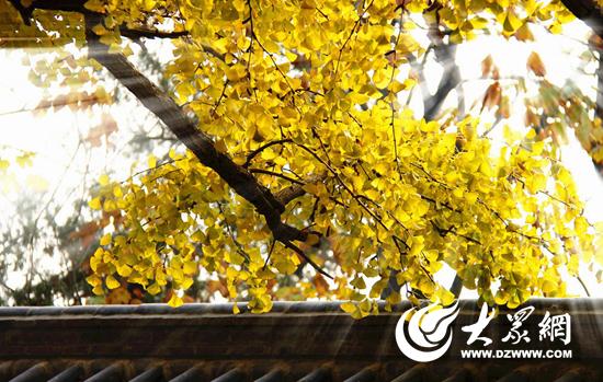 据工作人员介绍,每年的11月,大批游客听闻千年古银杏树叶泛黄,慕名前