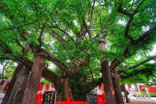 大树高26.3米,树身围粗15.7米,树冠遮地660多平方米.