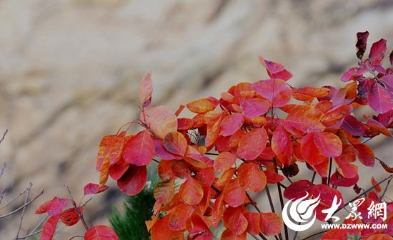 3 据景区工作人员介绍说,红叶树,是漆树科落叶乔木,叶片为圆形,好似一