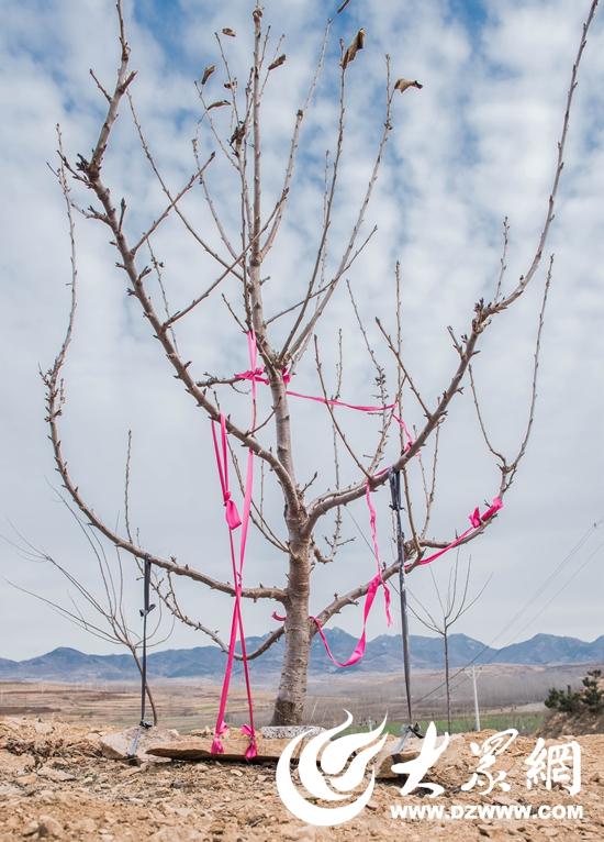 大樱桃 樱桃树图片