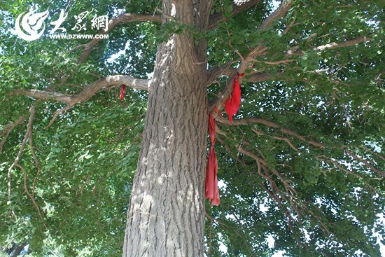 五莲挑沟三棵银杏树 竟是 祖孙三代人