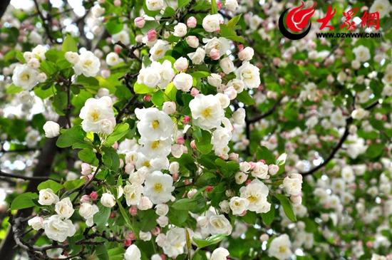 木梨海棠花图片