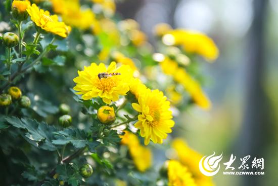 组图:此花开后更无花,金秋菊展扮靓日照银河公园