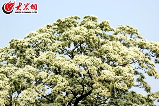 ):600岁流苏树高达16米