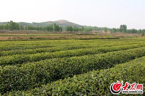 示范园 日照市百满茶业有限公司座落在江