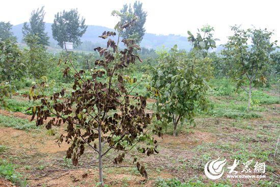 由于缺乏技术和科学管护,不少核桃树病死